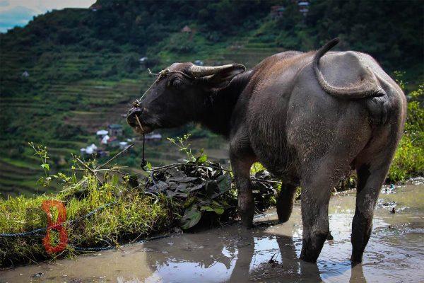 Filipinas baguio buey